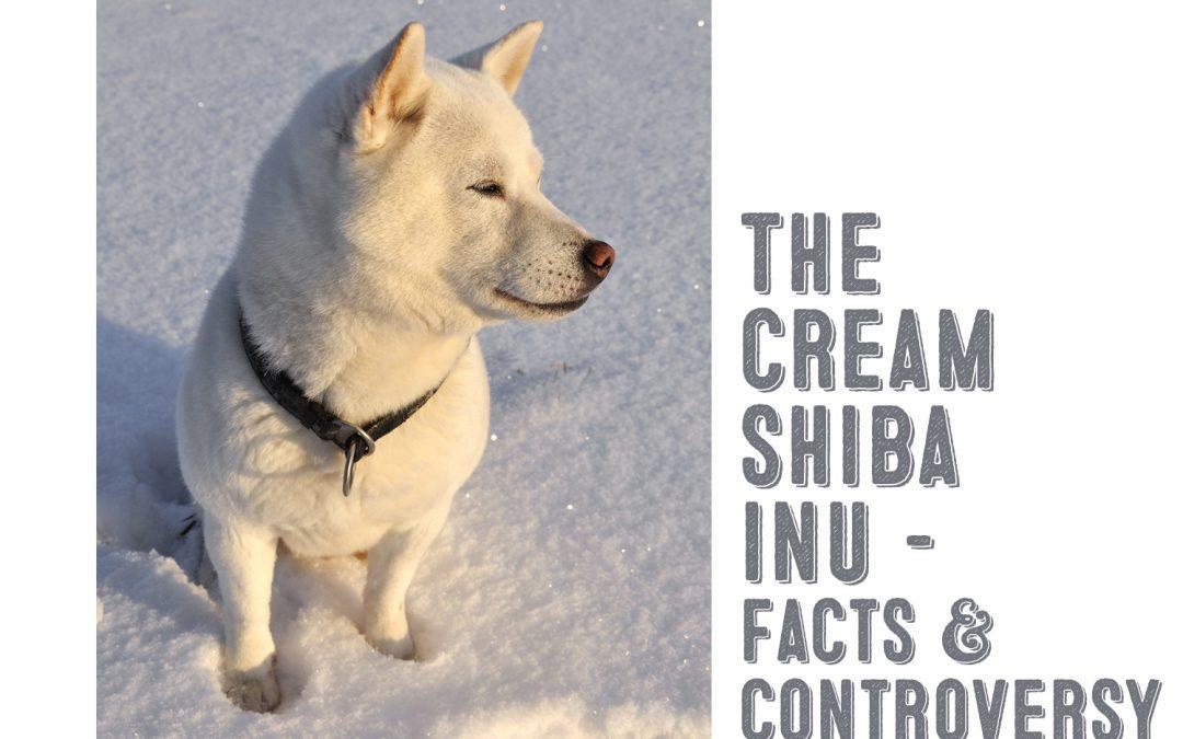 cream shiba inu facts and controversy