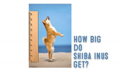 How Big Does A Shiba Inu Get?