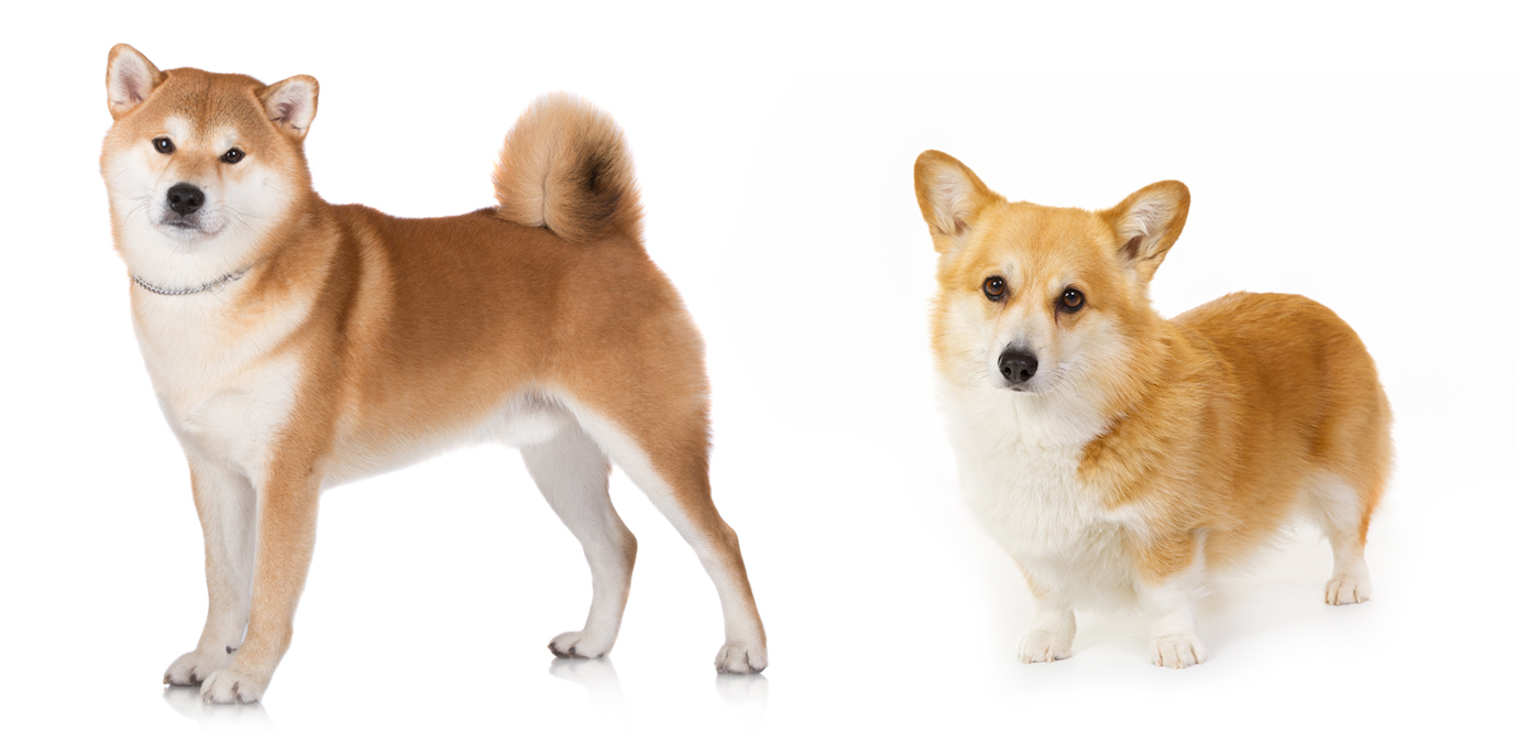 How Big Do Corgi Dogs Get