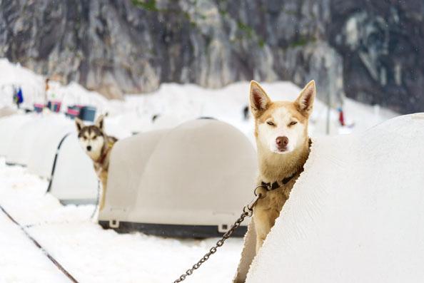sled dogs inside an igloo dog house