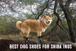 image of shiba inu wearing dog shoes