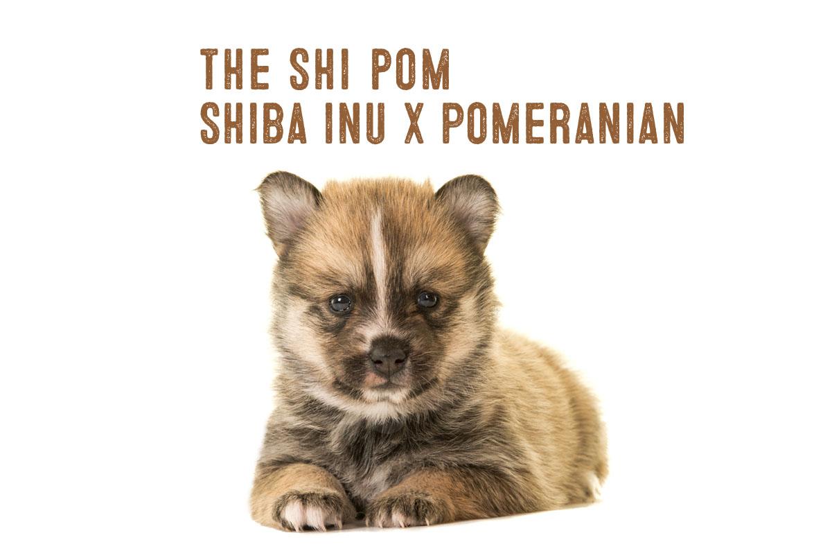 Shiba Inu Pomeranian Mix Information