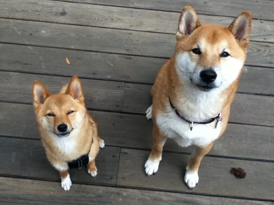 The Mini Or Mame Shiba Inu – Facts And Information - My