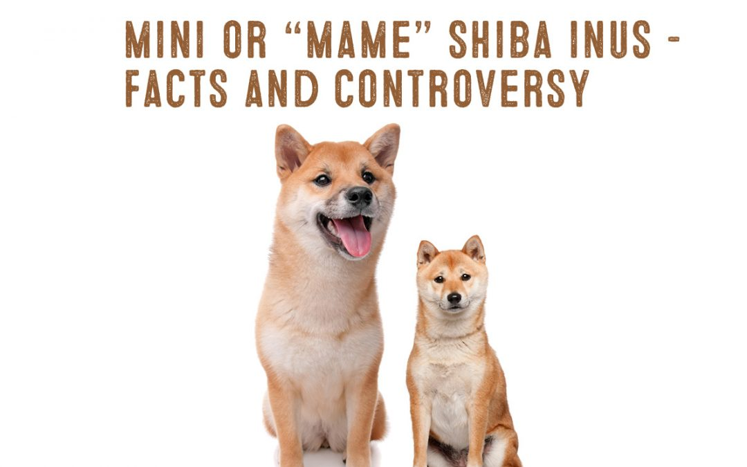 The Mini Or Mame Shiba Inu – Facts And Information