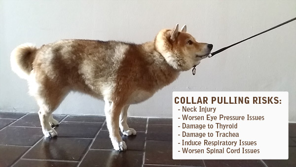 dangers of collars for Shiba Inus