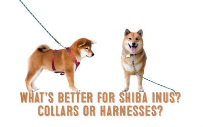What's Better For Your Shiba Inu – A Harness or a Collar?
