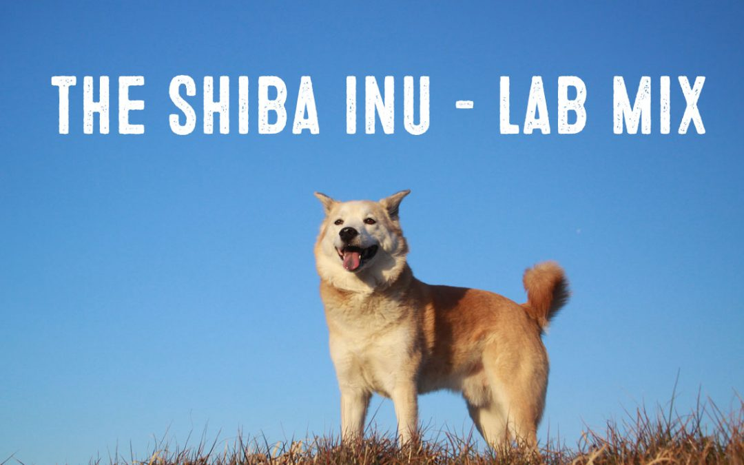 shiba inu lab labrador mix