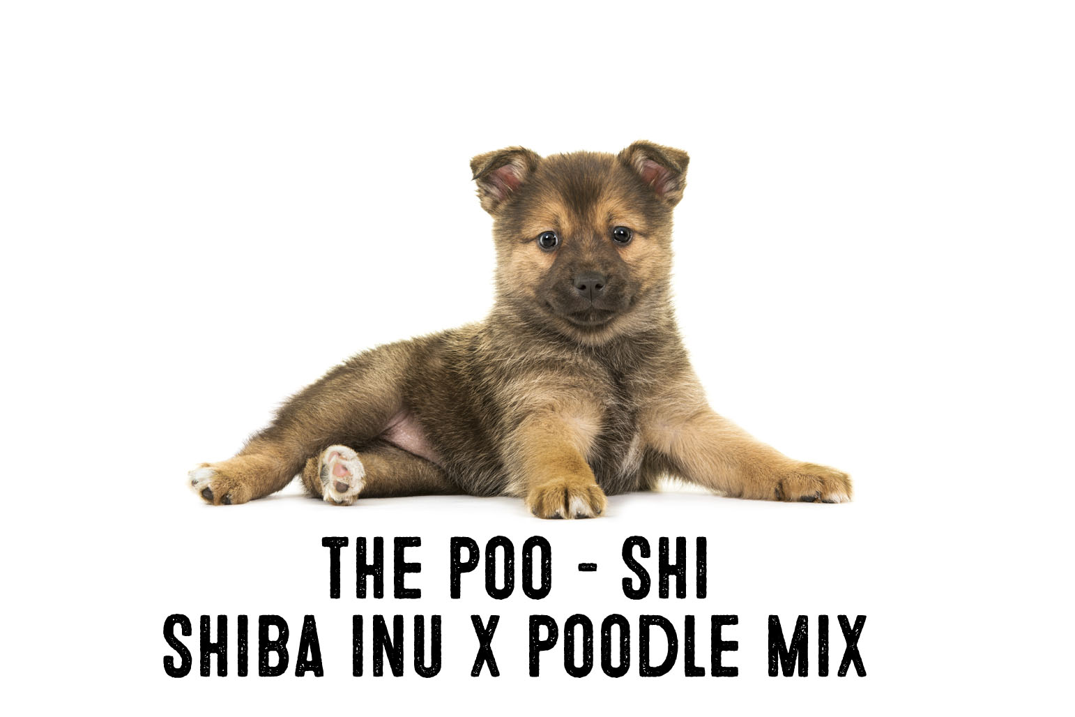 Shiba Inu Poodle Mix Information And Facts My First