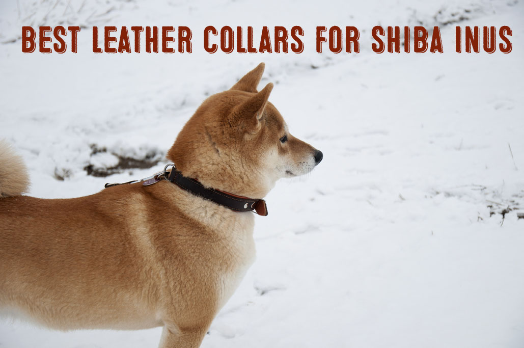 best leather collars for shiba inus graphic