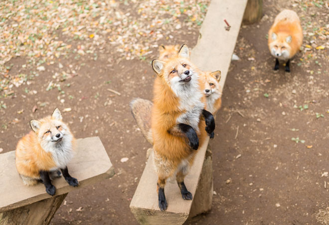 red foxes at Zao park in Japan