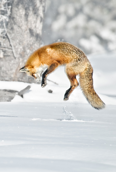 red fox pouncing hunting prey in snow