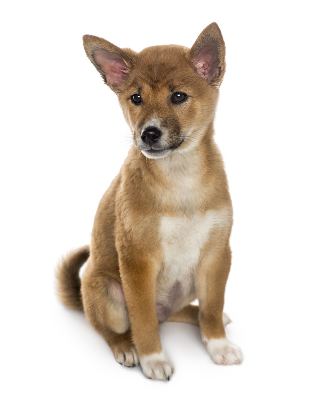 Basenji Mix Puppies For Sale - Goldenacresdogs com