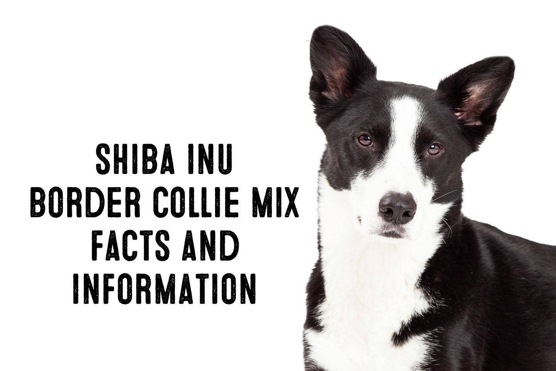 Shiba Inu Border Collie Mix