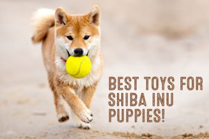 best toys for shiba inu puppies graphic