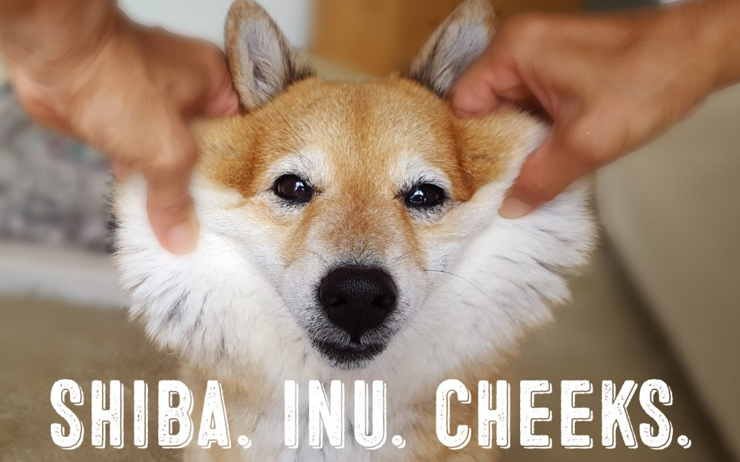 Squishy Shiba Inu Cheeks – All About The Shiba Inu Cheek Pulling Craze