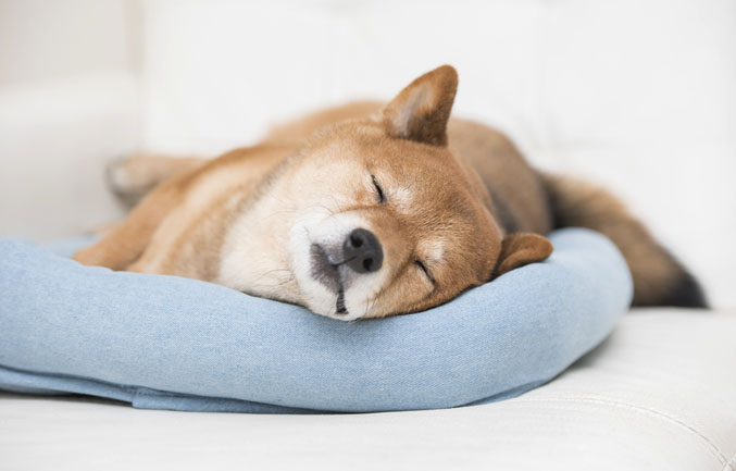 shiba inu on orthopedic dog bed