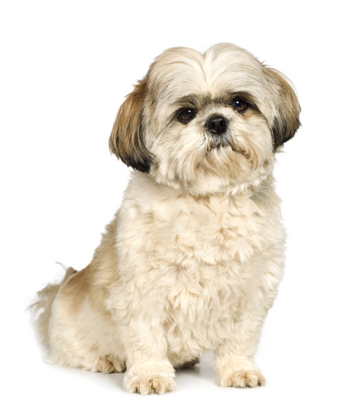 haircut for shih tzu shiba inu shih tzu mix facts and information my 4056