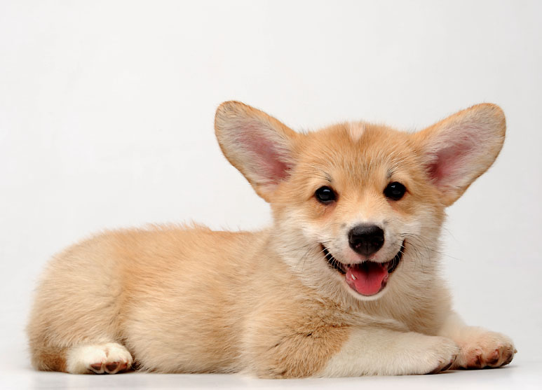 corgi puppy with big ears