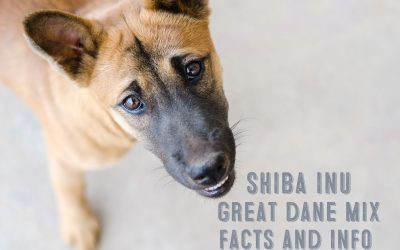 Shiba Inu Great Dane Mix – Facts and Information