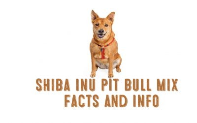 Shiba Inu Pit Bull Mix – Facts and Information