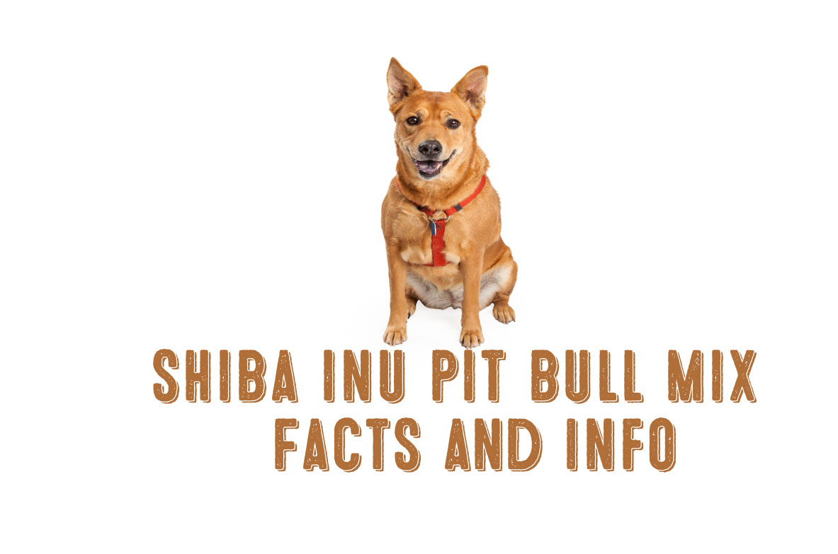 Shiba Inu Pit Bull Mix – Facts and Information - My First