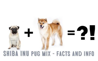 Shiba Inu Pug Mix – Facts and Information