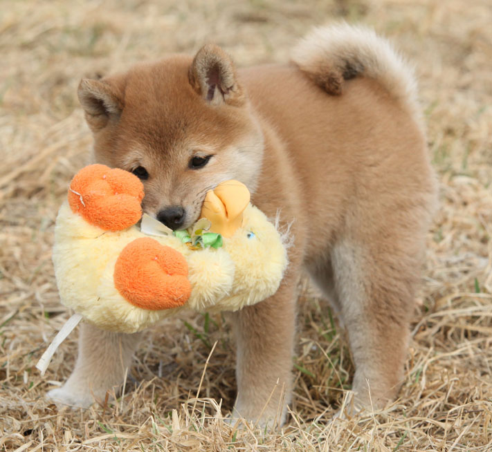 shiba inu puppy with chew squeaky toy