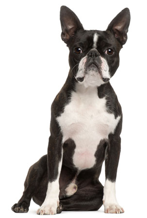 pure bred boston terrier dog