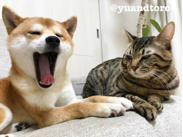 famous shiba inu and cats yu and toro