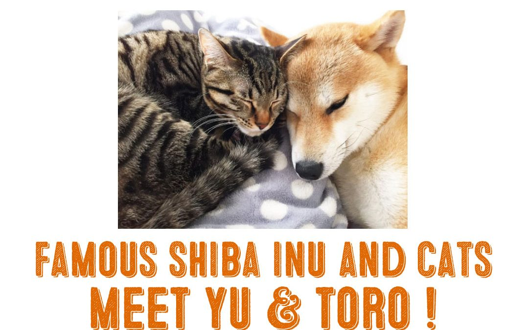 Famous Shiba Inus and Cats – Meet Yu and Toro