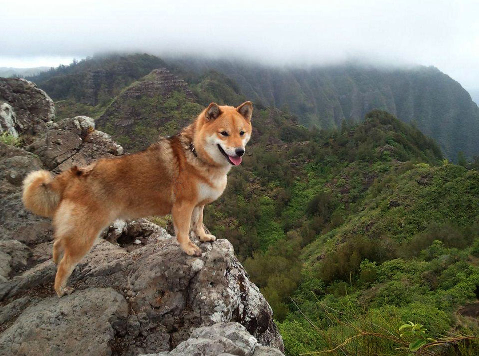 beautiful shiba inu hiking picture