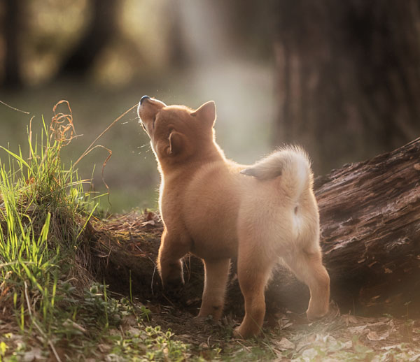 shiba inu puppy picture in natural lighting