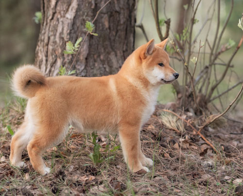 shiba inu puppy 8 eight months old