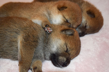 shiba inu very young puppies