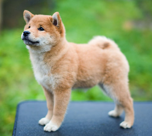 2 two month old shiba inu puppy