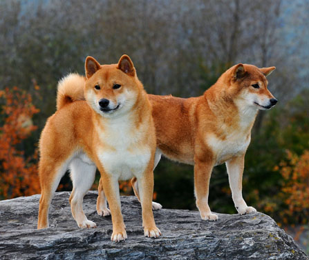 beautiful red shiba inu dog