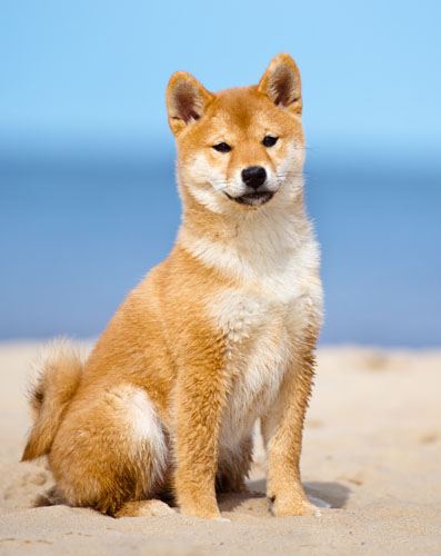 shiba inu puppy at the beach