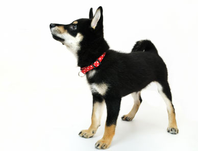 black and tan shiba inu puppy looking up for a puppy treat