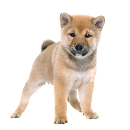 2 month old red shiba inu puppy