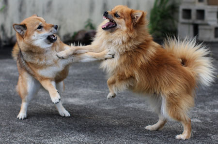 shiba inu playing with another mixed breed dog