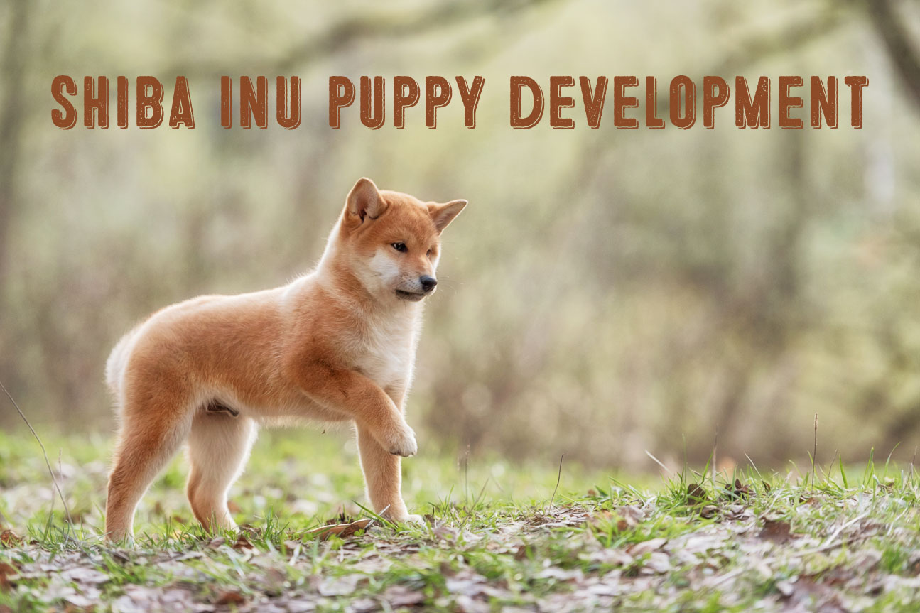 Shiba Inu Puppy Life Stages And Development My First Shiba Inu