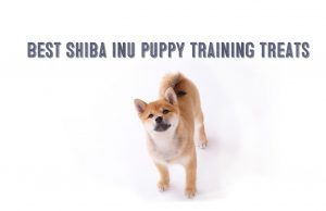 Shiba Inu puppy training treats image