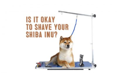 Is It Okay To Shave Your Shiba Inu?