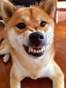 shiba dog grinning
