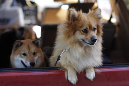 shiba inu and pomeranian mix friend