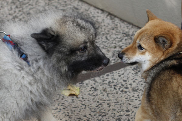 Shiba Inu and keeshond meeting