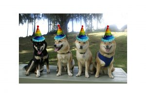 shiba inu birthday party