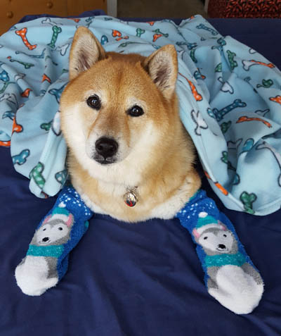 cute shiba inu in dog socks