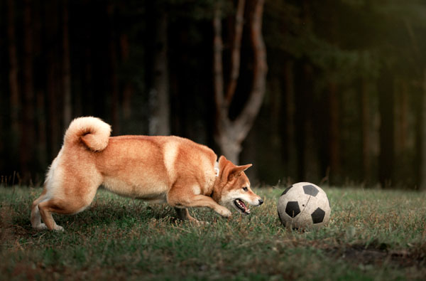 shiba inu playing with ball