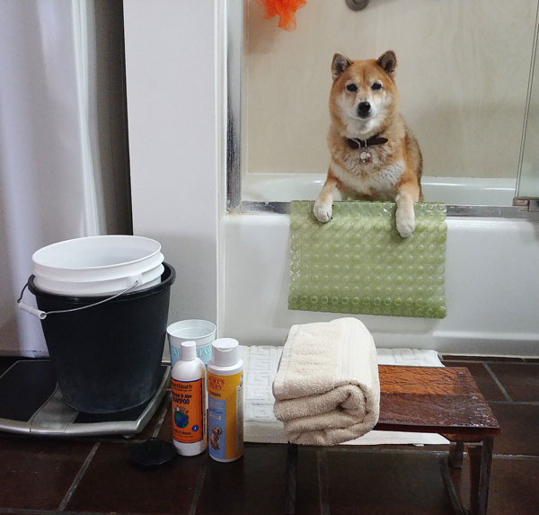 shiba inu ready for bath time